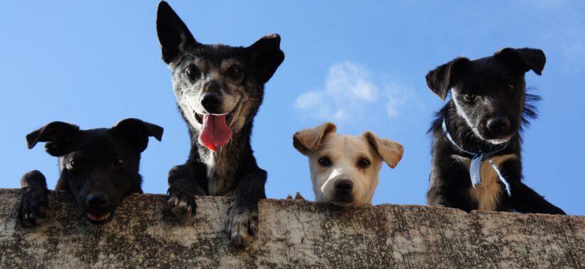 Hunde kigger over hegn