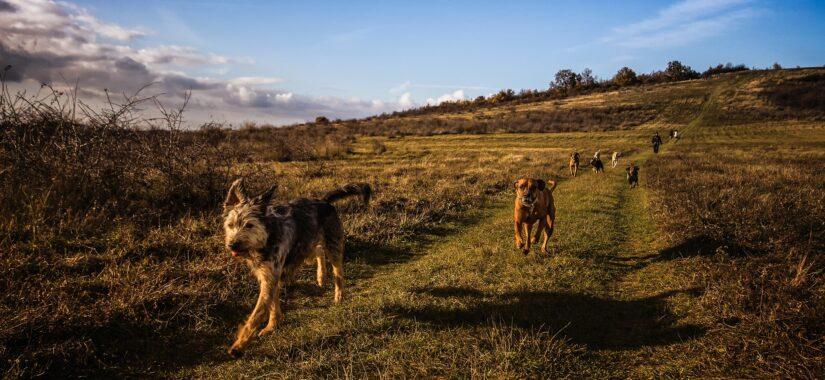 Hunde løber